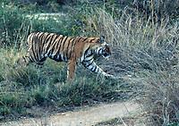 Tiger im Ranthambhore Nationalpark, Rajasthan, Indien