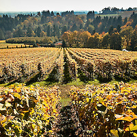 Fall in the Willamette Valley of Oregon brings golden colors to the vineyards.  Long rows of grapevines are seen going into the distance with tree filled hillsides in the background.