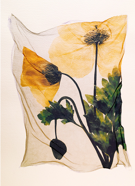 Pressed Welsh Poppy ( Meconopsis cambrica )-  Wild  flowers - Polaroid lift.