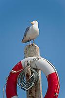 Herring gull (Larus argentatus) on a lifebelt, Port Erin, Isle of Man.