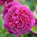 Rosa Munstead Wood ('Ausbernard'), early June. A modern shrub rose from David Austin, 2007. Flowers are light crimson in bud but, as the centre opens it becomes a very deep velvety crimson while the outer petals remain lighter in colour. Named after Gertrude Jekyll's garden in Surrey.