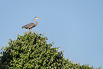Damon, Texas; a great blue heron standing on the top of a tree in late afternoon sunlight
