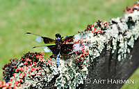Lichens and Dragonfly by Art Harman. A country fence covered in the British soldier lichen caught my eye. A dragonfly added the magical touch!