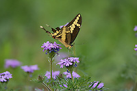 Giant Swallowtail (Papilio cresphontes), adult feeding on Prairie Verbena (Glandularia bipinnatifida), Hill Country, Texas, USA
