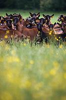Europe/France/Poitou-Charentes/79/Deux-Sèvres/Loubillé: Elevage  de chèvres en paturage en production bio de Patrick Balland - Elevages des Fontaines