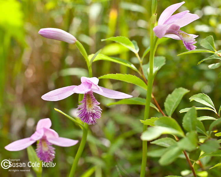 Rose Pogonia (Pogonia ophioglossoides ) preserved by the Frenchman Bay Conservancy in Hancock County, ME, USA