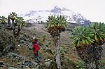 D etranges silhouettes accrochant la brume  se dressent a l entree de la vallee de Barranco. Les senecons aux allures de choux montes trop vite sont les stars vegetales du Kilimandjaro. Lointains cousins equatoriaux de nos pissenlits et paquerettes (tous appartiennent a la famille des composees), ils sont devenus geants pour arriver à supporter la secheresse et le froid des hautes altitudes.