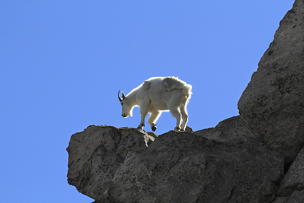 Mountain Goat (Oreamnos americanus) on the slopes of Mount Evans (14,250 feet), Rocky Mountains, west of Denver, Colorado, USA Private photo tours to Mt Evans. .  John leads private, wildlife photo tours throughout Colorado. Year-round.