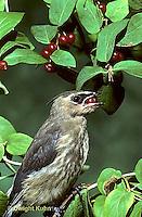 WX01-005z  Cedar Waxwing - immature eating berries - Bombycilla cedrorum
