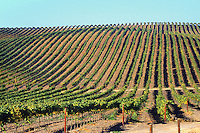 vineyard in Napa Valley, California