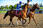 TORONT,CANADA-SEP 14: Old Persian,ridden by James Doyle, is post parading before the Northern Dancer Turf at Woodbine Race Track on September 14,2019 in Toronto,Ontario,Canada. Kaz Ishida/Eclipse Sportswire/CSM