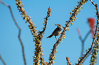 Cactus Wren, Campylorhynchus brunneicapillus, perches in an Ocotillo, Fouquieria splendens, in Saguaro National Park, Arizona