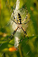 Argiope aurantia. This spider species is known by many common names, including Black and Yellow Garden Spider, Golden Garden Spider, Writing Spider, Black and Yellow Argiope, etc. Common in North America. The mature female of the species has striking markings of black, yellow, and white, and is quite larger than the male. Total body length approximately 2.5 cm. Though the spider uses venom to subdue prey, they are not particularly aggressive or dangerous to humans. Habitats include fields and gardens.