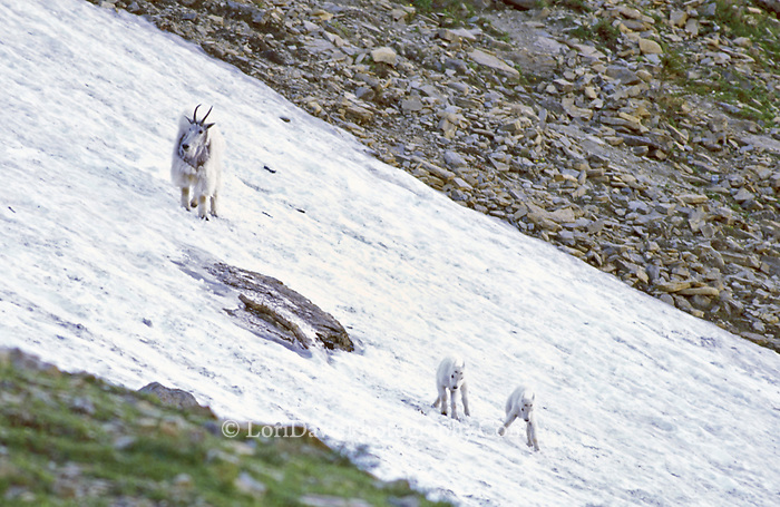 Nanny Goat with Kids Crossing Snow Field