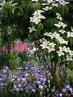 Dogwood,iris and lupines at Schrieners Iris Gardens, Salem, Oregon.