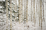 Aspens covered in snow in North Idaho.