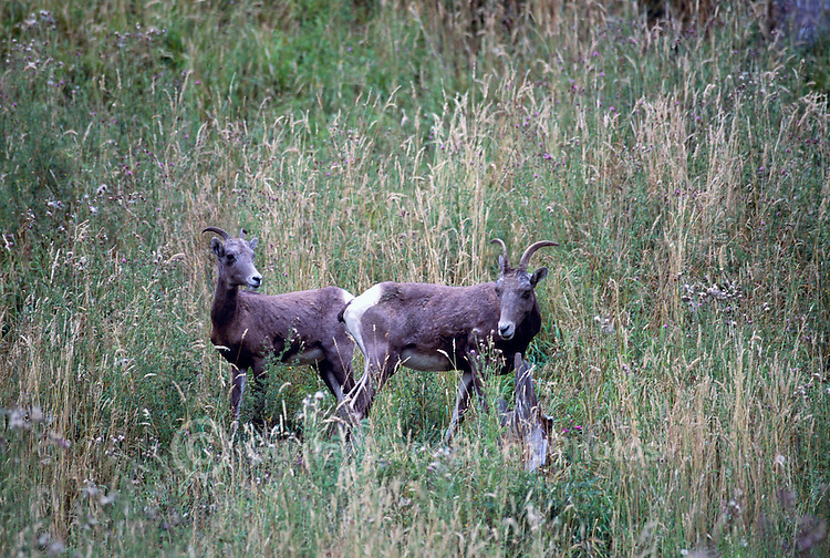 California Bighorn Sheep (Ovis canadensis sierrae) in Vaseux Lake Conservation Area, South Okanagan Valley, BC, British Columbia, Canada