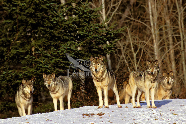 Gray wolf or Timber wolf pack (Canis lupus).  Winter. Canada.