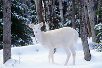 Albino White-tailed Deer doe.  Great Lakes Region.  Winter.