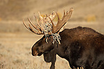 Bull Moose with sage grass in antlers