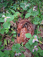 baby fawn in trillium