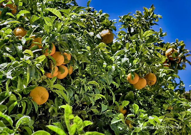 Orange tree in the garden of the monastic cell in the Carthusian monastery in Valledmossa, Mallorca, where the composer Frédéric Chopin stayed in 1838-39 with his lover George Sand (Amantine Dupin).
