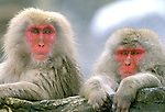 Japan, Nagano, Jigokudani, Snow Monkey Couple, Japanese Macaque, (Macaca fuscata)