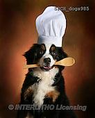 Xavier, ANIMALS, REALISTISCHE TIERE, ANIMALES REALISTICOS, dogs, photos+++++,SPCHDOGS985,#A#