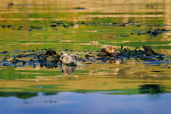 Sea Otters resting in kelp.  Sea Otters frequently wrap up in kelp while sleeping or resting to keep from drifting with the tidal current.