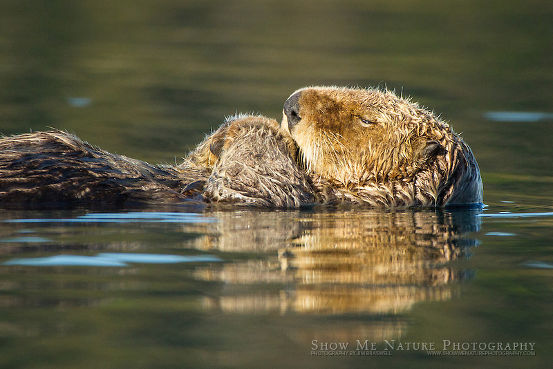 Sea Otter closeup image as he rests
