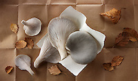Fresh picked edible grey oyster mushrooms (Pleurotus)