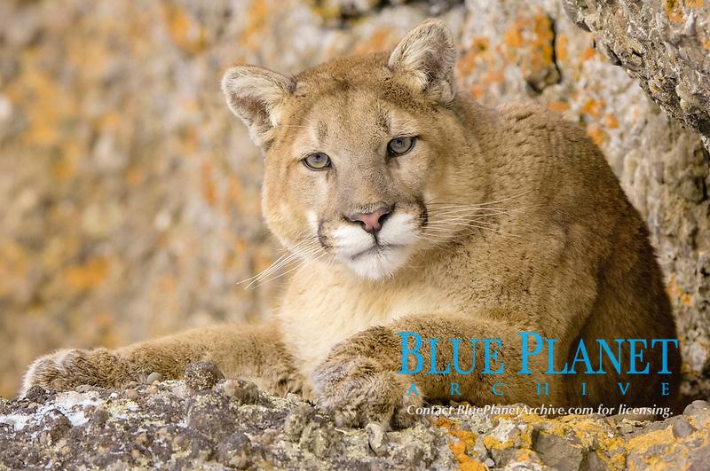Puma (Felis concolor), adult, close-up, resting on rocks, USA, America, North America