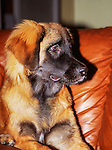 Murphy Friel, a Leonberger dog