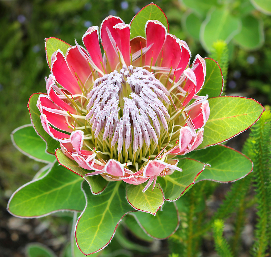 The array and selection of indigenous plants and flowers is overwhelming at The kirstenbosch National Botanical garden located in Cape Town, South Africa.