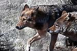 coyotes hunting, 2 shot