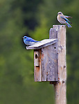 Two little bluebirds sit on a bluebird box near Yellowstone national Park.