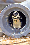 African Penguin In Culvert