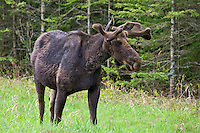 Young Bull Moose standing in a field along the edge of a forest