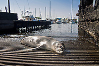 Hawaiian monk seal, Neomonachus schauinslandi, basking at boat ramp, young male, critically endangered, Honokohau Harbor, Kona Coast, Big Island, Hawaii, USA, Pacific Ocean