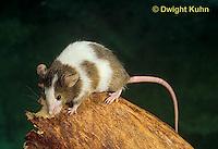 MU60-043z  Pet mouse - exploring
