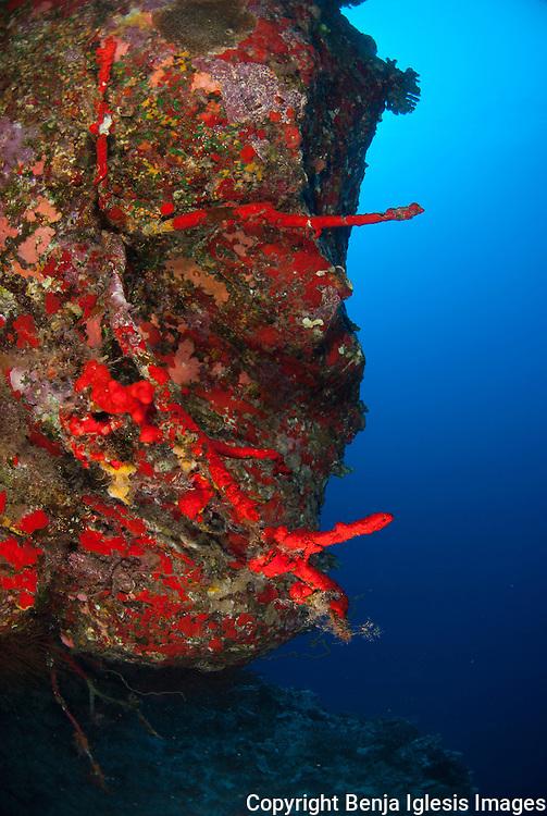 Black coral on the back wall of Molokini, depth 130 feet.Maui Hawaii.