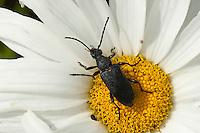 Haarschildiger Halsbock, Blütenbesuch auf Margerite, Corymbia scutellata, Stictoleptura scutellata, Paracorymbia scutellata, Melanoleptura scutellata, Leptura scutellata