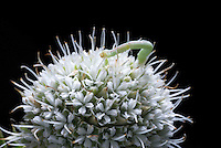 """Inchworm on sphere-like flowering head of Rattlesnake Master (Chamaecrista fasciculata). Larvae of Geometer Moths (family Geometridae) lack middle prolegs, hence their primary method of locomotion is looping or """"inching"""" forward. Mag 1x at 35mm."""
