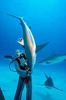 shark handler holds Caribbean reef shark, Carcharhinus perezii, in a hypnotic trance, Bahamas, Caribbean, Atlantic