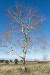 Brazoria County, Damon, Texas; a pecan tree stands alone in a pasture in afternoon sunlight against a blue sky