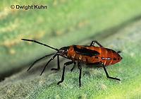 HE05-009a Large Milkweed Bug Nymph on milkweed seed pod, Oncopeltus fasciatus