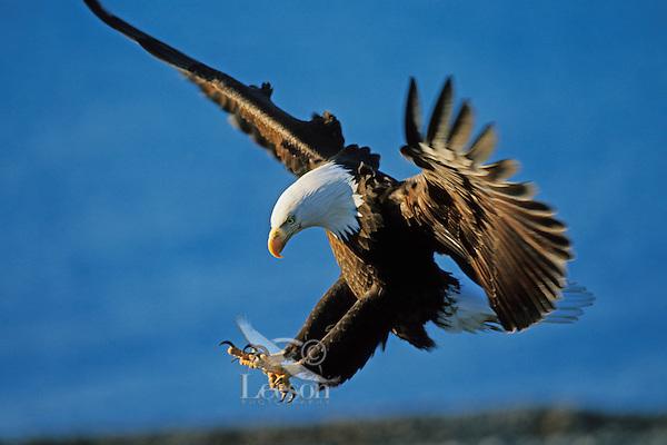 Bald Eagle preparing to land.
