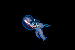 Male Blanket octopus larva, Tremoctopus violaceus