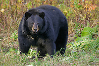Large female Black Bear standing in front of some fall foliage