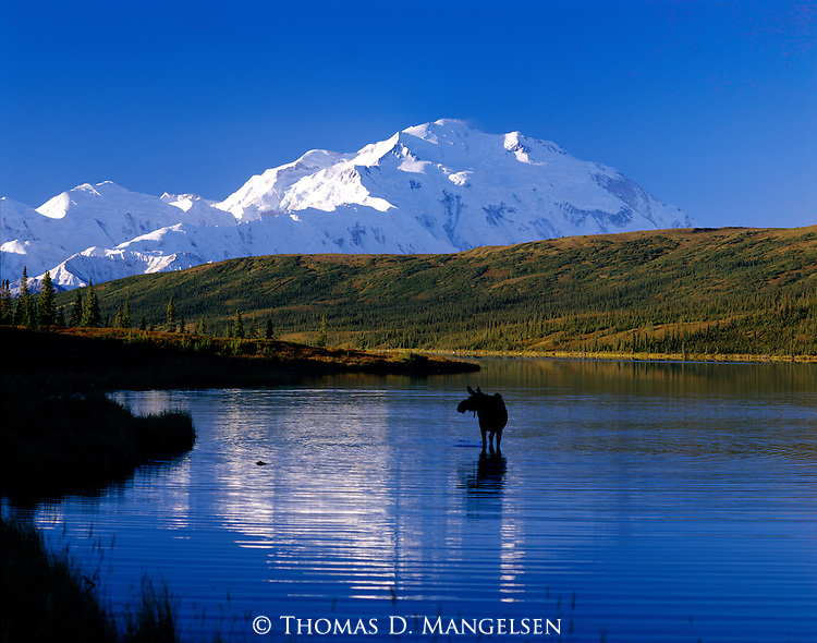 On a clear autumn day, Mt. McKinley reflects in a pond where a moose feeds in Denali National Park, Alaska.